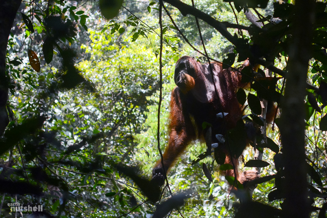 Large wild male Orangutan we spotted between the trees.