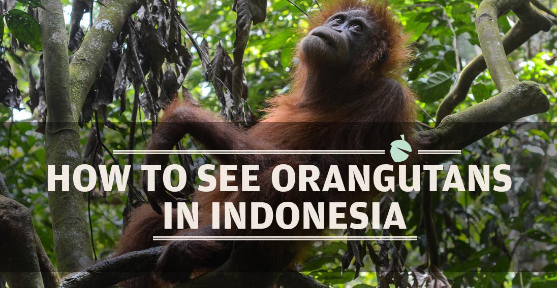 orangutan_featureimage